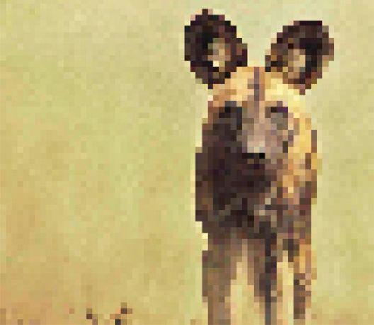 Африканско диво куче, преостанати меѓу 3000 и 5500 животни