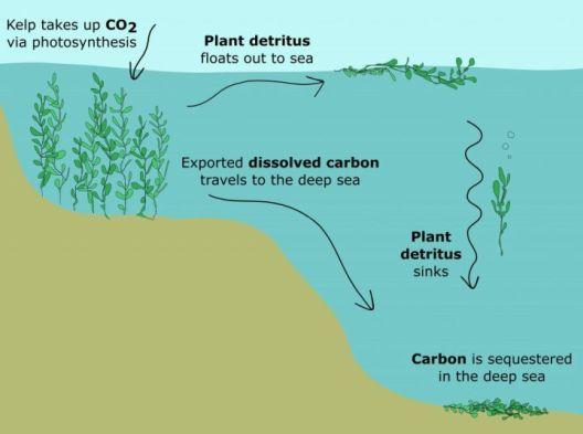 Дали планетата ќе ја спасат морските алги?