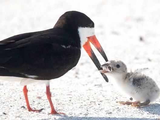 Птица го храни своето бебе со пикавец