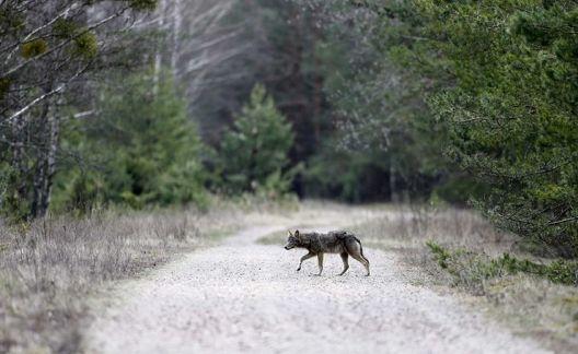 Волците од Чернобил ја напуштија радиоактивната зона