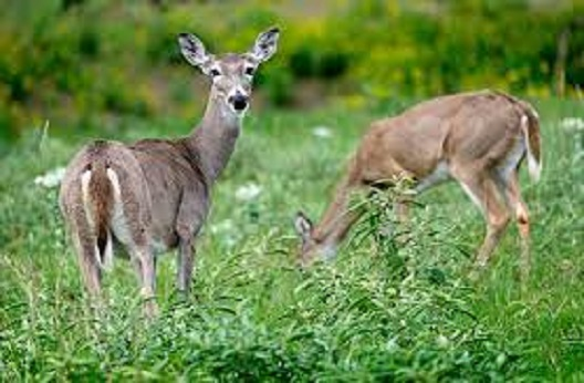 Кај диви елени пронајдени антитела на коронавирусот