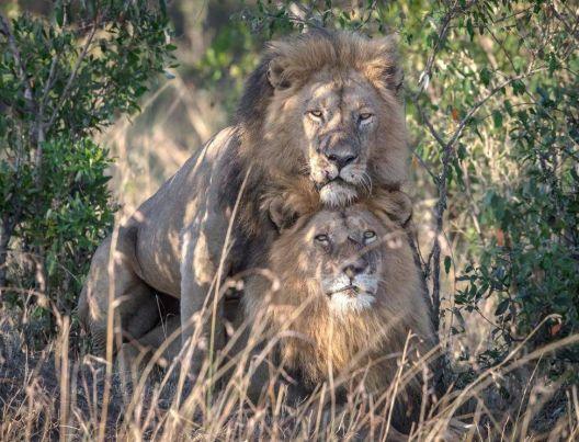 Геј лавови во Кенија ќе бидат разделени и пратени на психолог