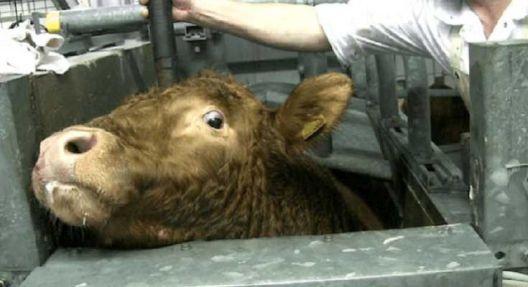 Годишно се убиваат половина милијарда животни помалку затоа што луѓето јадат помалку месо