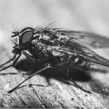 Акробатската мува