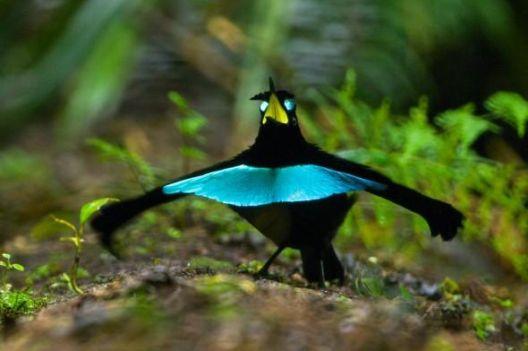 Нов вид рајска птица