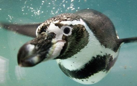Чиле: одбиле рударски проект вреден милијарди долари поради пингвини